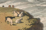 Sheep on cliff top